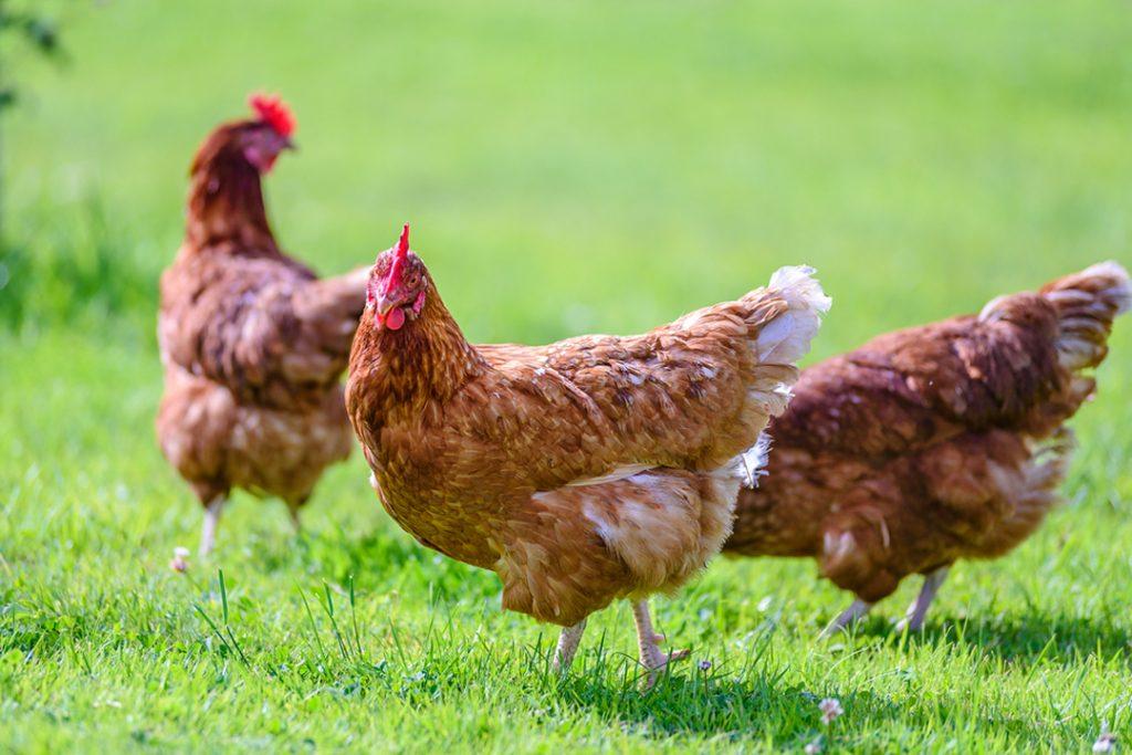 Blog Yallamundi Pasture Raised Eggs02